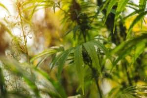 Plante de chanvre