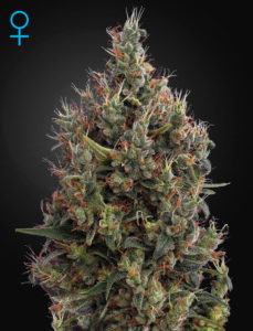 La Big Bang Autoflowering de chez Greenhouse Seeds