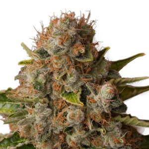 White Widow de Royal Queen Seeds