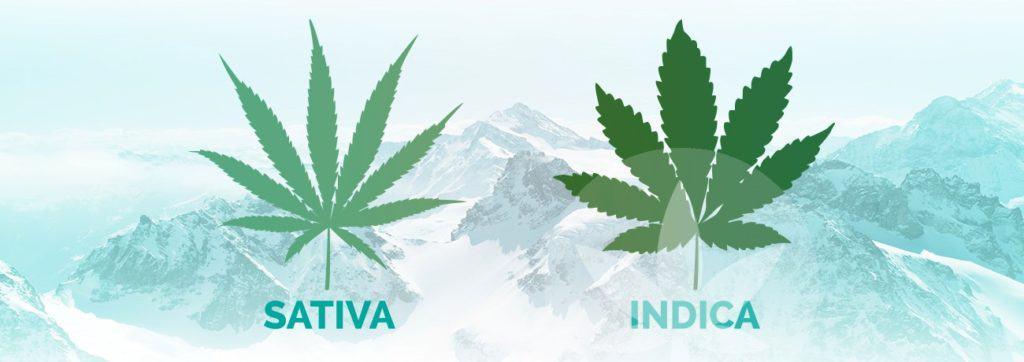 CBD Sativa ou Indica ?
