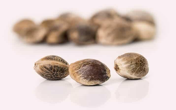 Sensi seeds graines de CBD