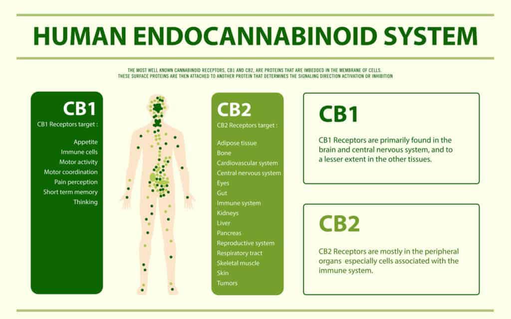 CBD et THC agissent sur le système endocannabinoide humain.