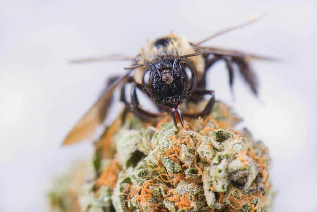 Le miel de cannabis CBD est possible lorsque des abeilles butines directement des fleurs de cannabis.